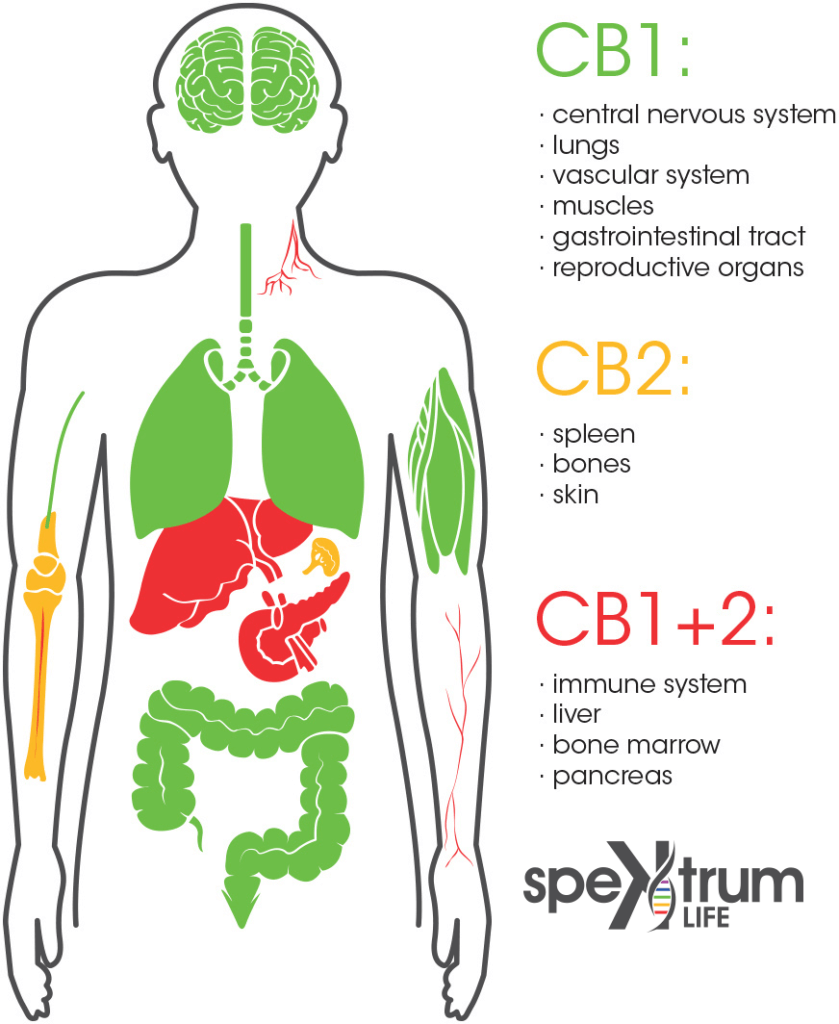 Endocannabinoid System - ECS
